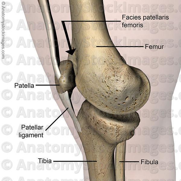 Anatomy Stock Images | knee-facies-patellaris-femoris-trochlea ...