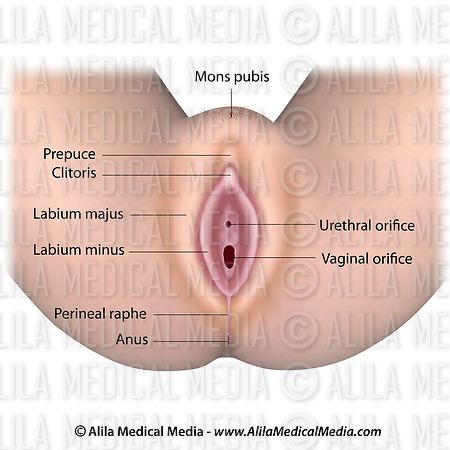 Alila Medical Media Vulva Anatomy Medical Illustration