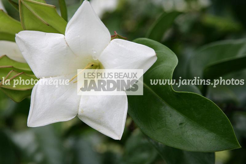 La Phototheque Les Plus Beaux Jardins Portlandia Albiflora