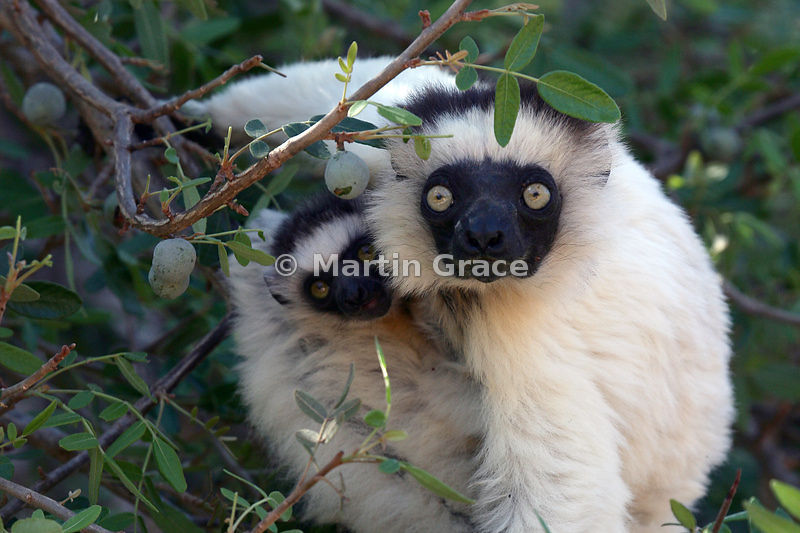 Verreaux's Sifaka (Propithecus verreauxi verreauxi) female with young