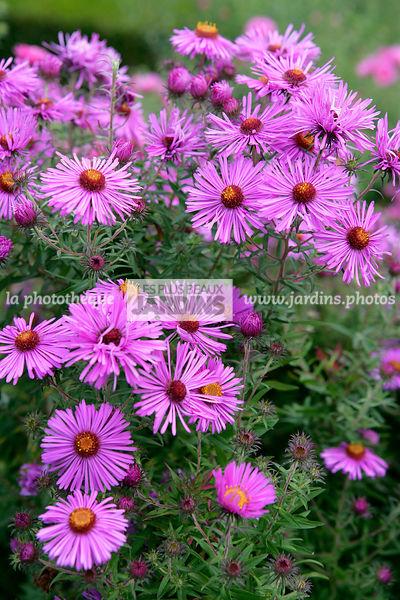 La Phototheque Les Plus Beaux Jardins Aster Novae Angliae