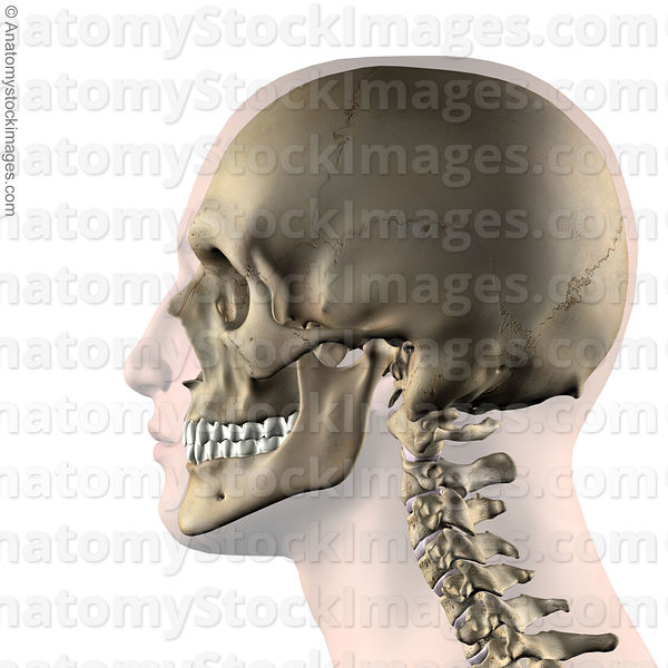 Anatomy Stock Images Head Skull Jaw Side Skin