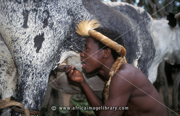 Photos and pictures of: Zulu boy drinking milk straight from the cow ...