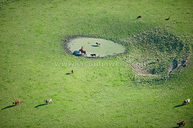 Cattle and pond