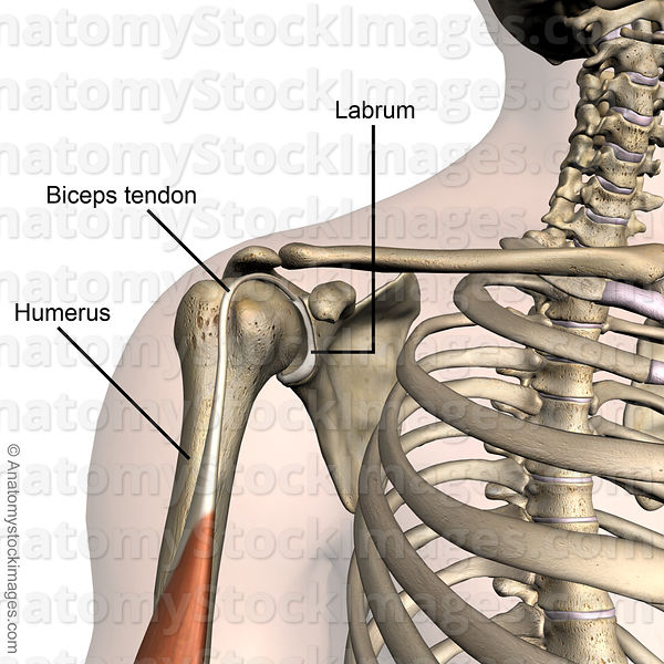 Anatomy Stock Images | shoulder-labrum-labral-musculus-biceps ...