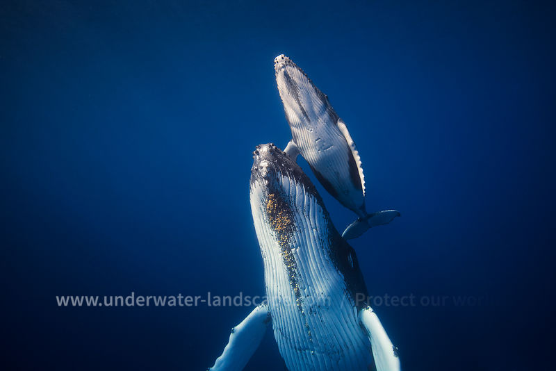 humpback-whales-gabriel-barathieu-underwater-photography