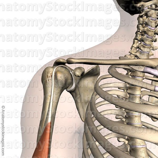 Anatomy Stock Images | shoulder-labrum-labral-musculus-biceps ...