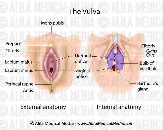 Alila Medical Media Vulva Anatomy Labeled Medical Illustration