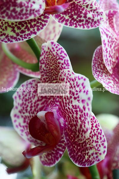 La Phototheque Les Plus Beaux Jardins Phalaenopsis Brother Love