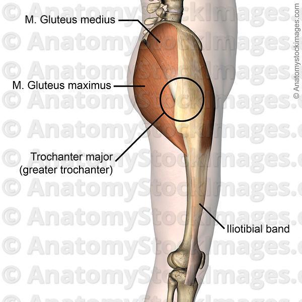 M.trochanter major