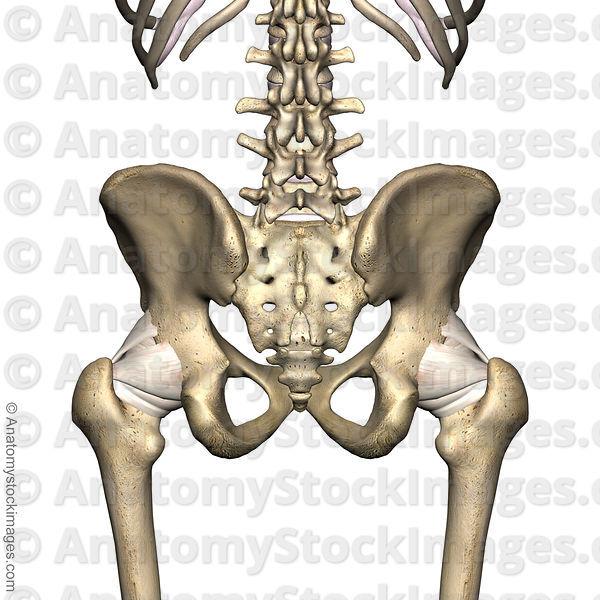 Anatomy Stock Images Hip Si Joint Sacroiliac Ilium Sacrum Femur Back