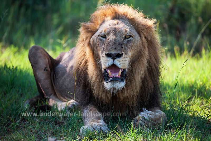 South Africa: pictures of animals in the Kruger National park - lions