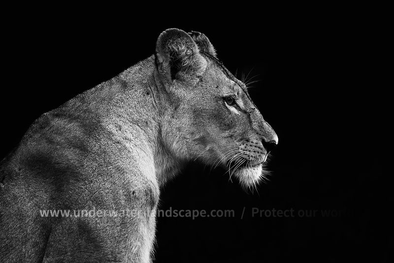 picture lion in black and white South Africa: pictures of animals in the Kruger National park