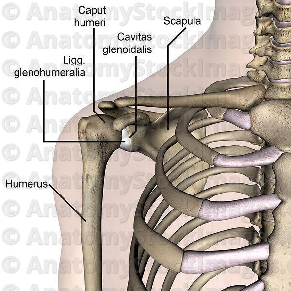... -cavitas-glenoidalis-caput-humeri-scapula-humerus-front-skin-names