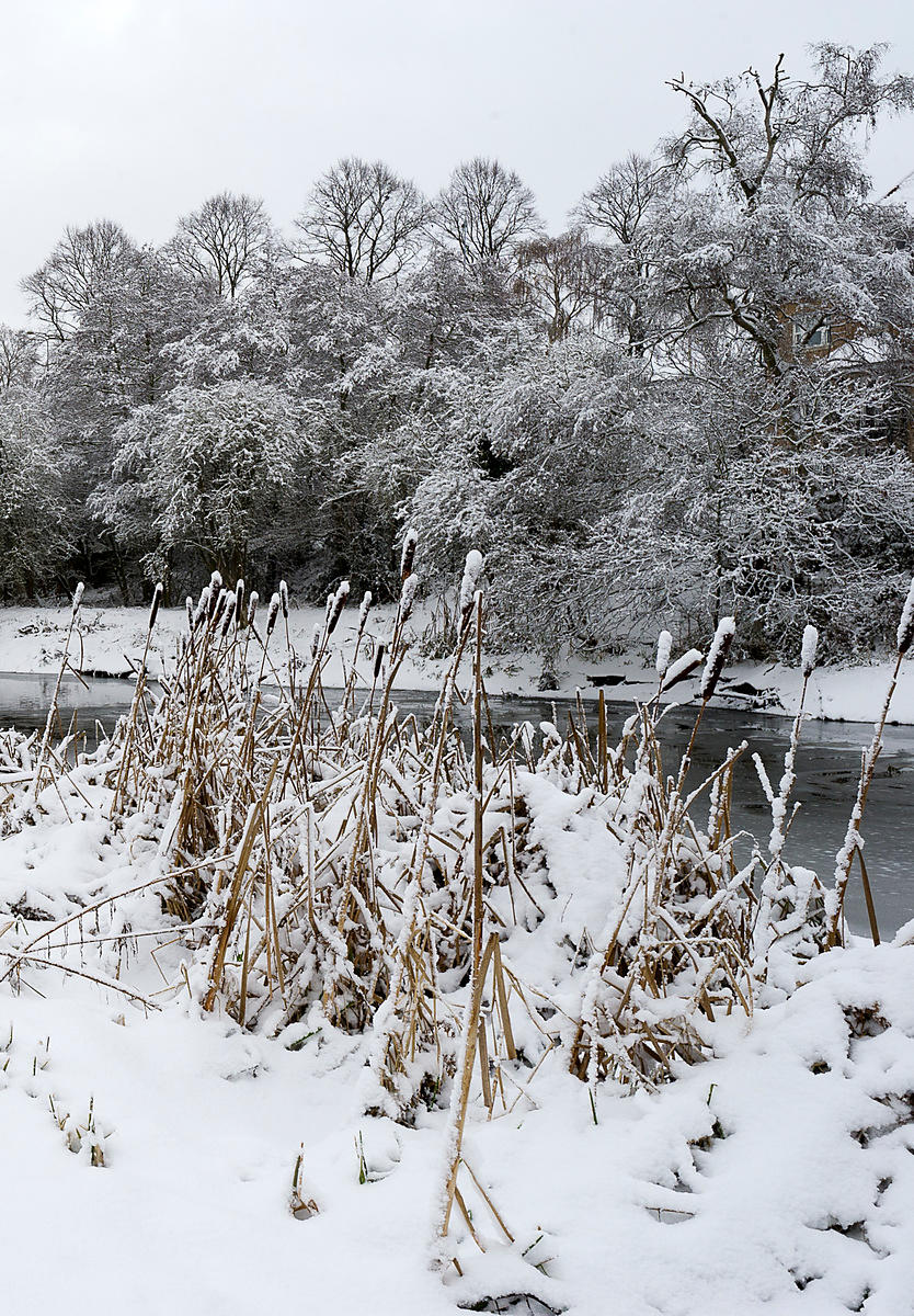 Bullrushes in the snow