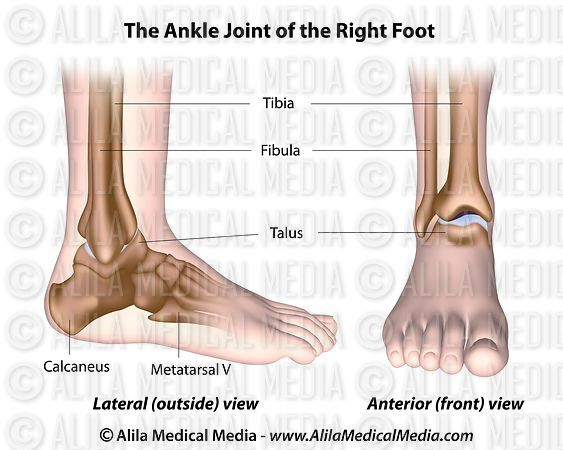 Alila Medical Media Ankle Joint Labeled Diagram Medical