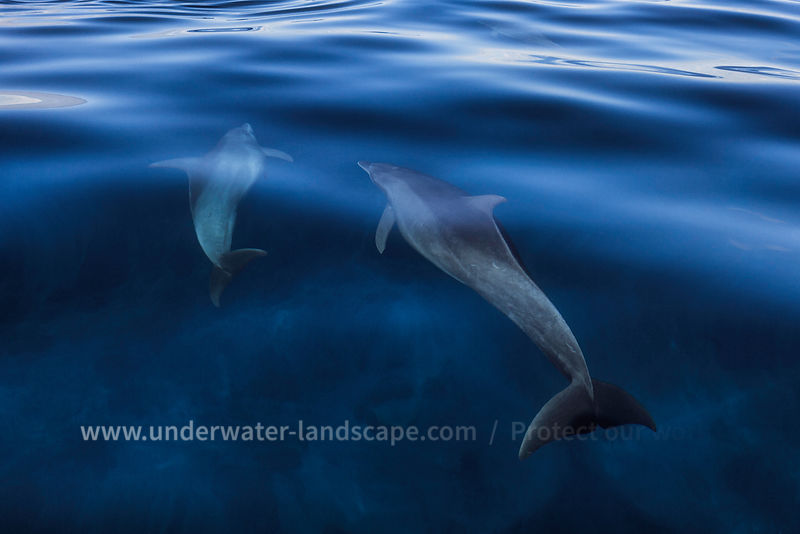 Dolphins in  the sea of Mohéli island -Comoros-