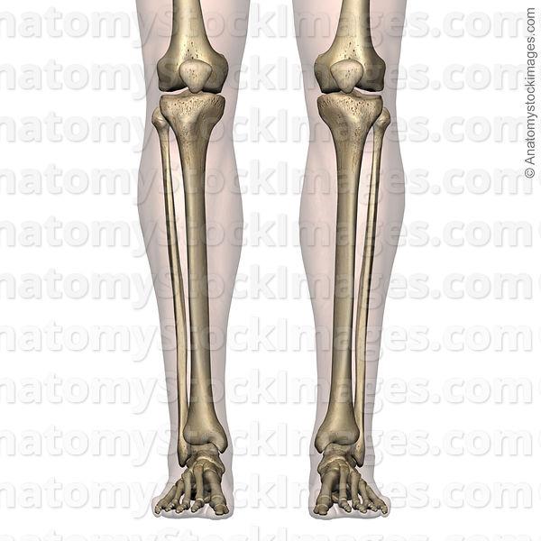 Anatomy Stock Images Lowerleg Bones Tibia Fibula Front Skin
