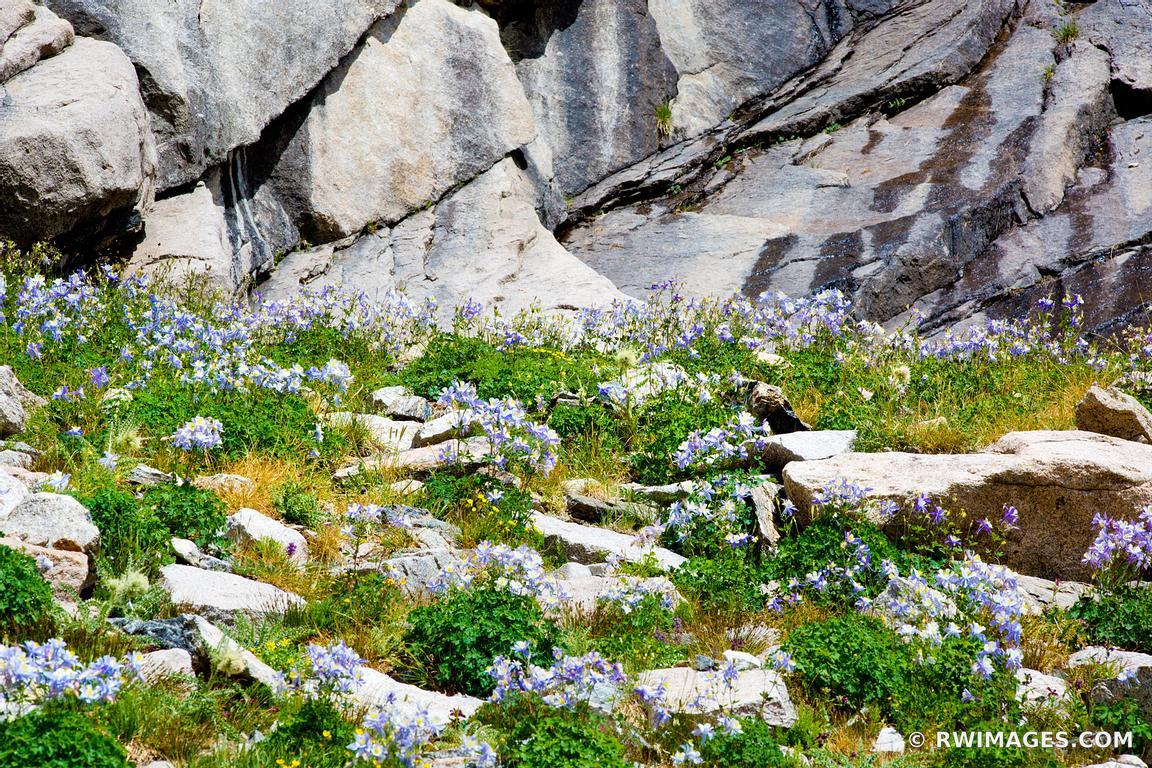 Photo print of columbine flowers in summer chasm lake trail rocky columbine flowers in summer chasm lake trail rocky mountain national park colorado izmirmasajfo