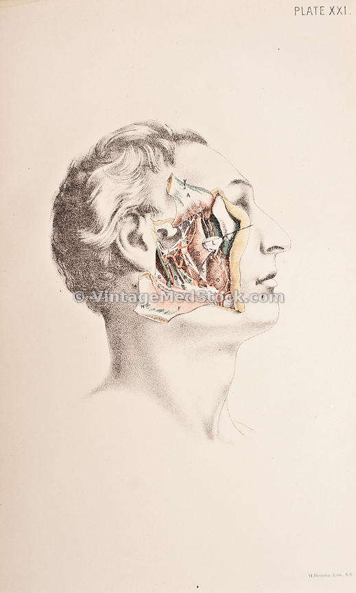 Vintagemedstock Anatomy Of The Side Of The Human Face