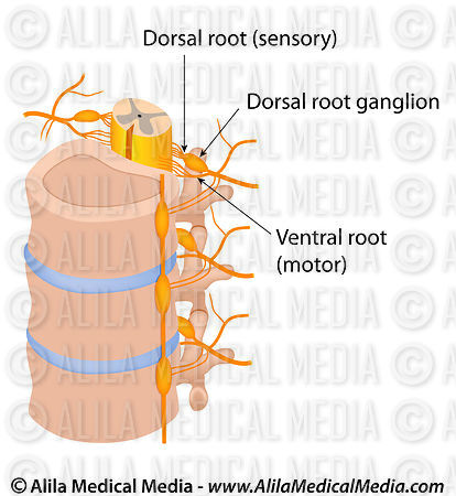 Alila Medical Media | Dorsal and ventral roots of spinal nerve ...