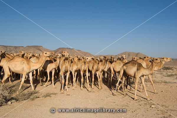 Photos And Pictures Of Camels Outside Berbera Somaliland Somalia The Africa Image Library