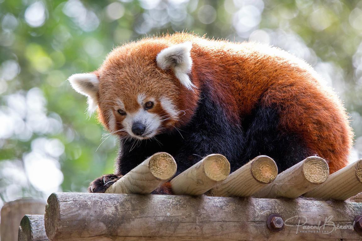Pascal Bénard Photographies Panda Roux