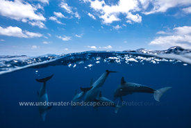 dolphins pictures-underwater photography