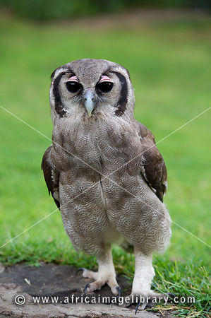 photos and pictures of verreaux s eagle owl bubo lacteus lake