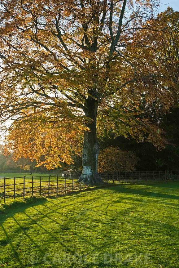 Beech Tree Turning Colour On The Edge Of The Garden. Larmer Tree Gardens,  Tollard