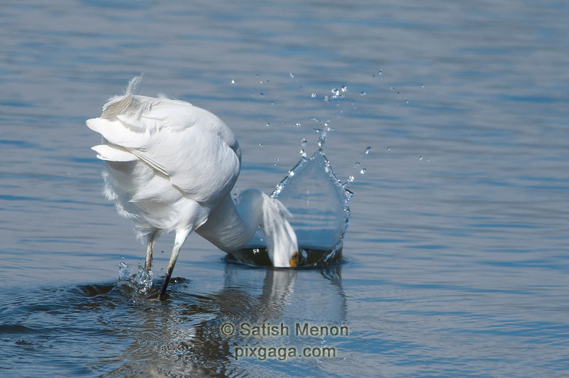 Snowy Egret and frozen splash