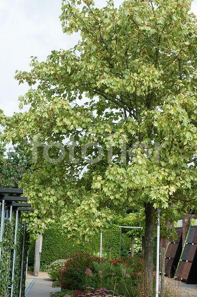 Photo De Acer Pseudoplatanus Variegatum Fotoflor Grand Choix