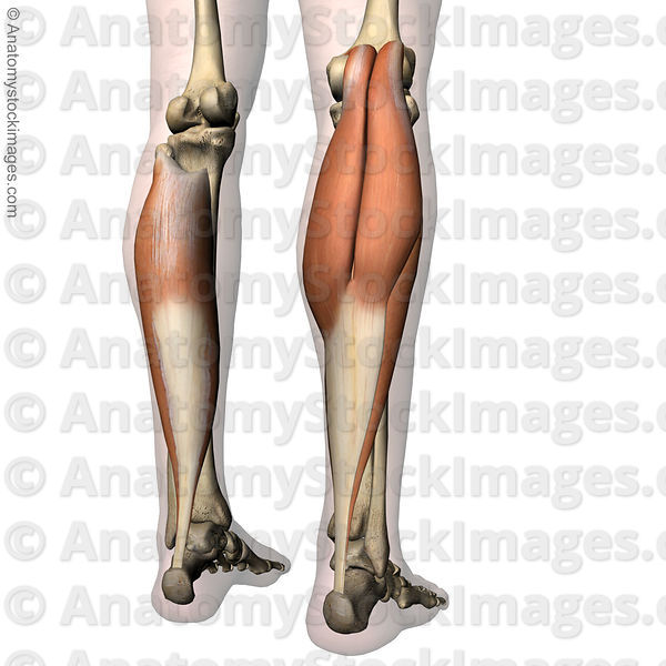 Anatomy Stock Images Lowerleg Musculus Triceps Surae Calf Muscle