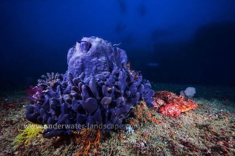 Mozambique under water: scuba diving photography-fauna and flora - purple sponge