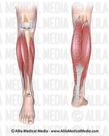 waxing leg diagram alila medical media | lower leg muscles unlabeled ... #5