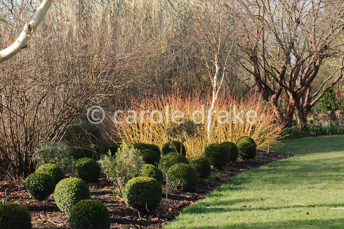 CAROLE DRAKE | Cornus sanguinea \'Midwinter Fire\' with clipped box ...