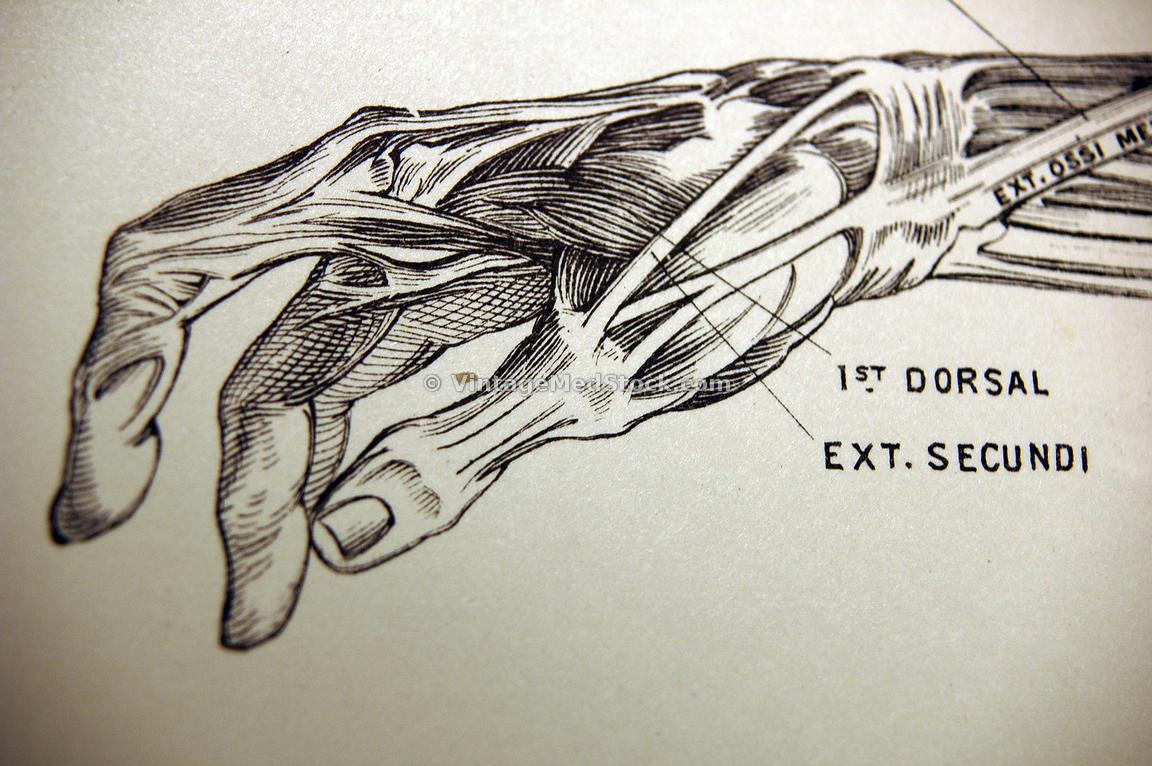 VintageMedStock | Tendon View of the Hand