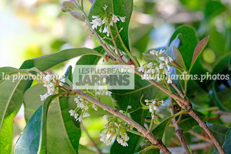 la photothèque | LES PLUS BEAUX JARDINS | Osmanthus fragrans Lour ...