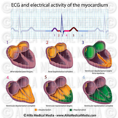 the cardiac conduction system and ecg explained with video. Black Bedroom Furniture Sets. Home Design Ideas