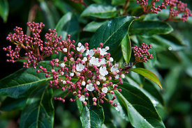 Viburnum tinus (folhado) at the Arrbida Natural Park, Portugal