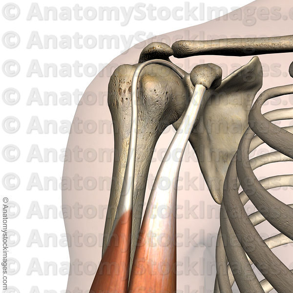 Anatomy Stock Images | shoulder-sulcus-intertubercularis-tuberculum ...
