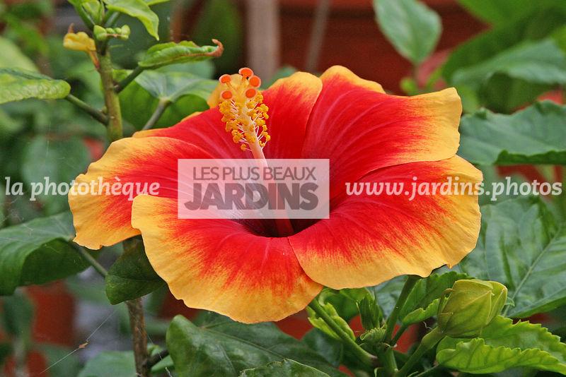 La Photothèque Les Plus Beaux Jardins Hibiscus Rosa Sinensis X