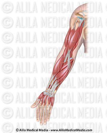 Alila Medical Media   Músculos del brazo   Ilustración médica