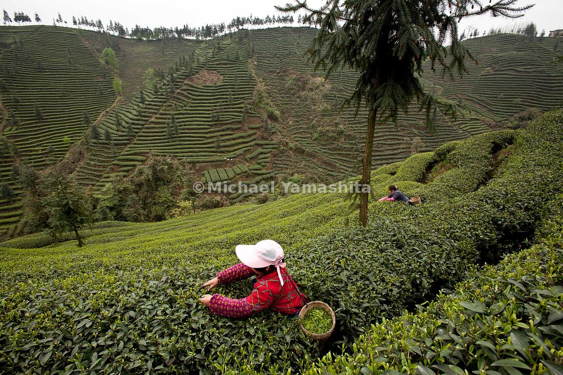 MichaelYamashita | Ming Shan County, where tea was first discovered ...