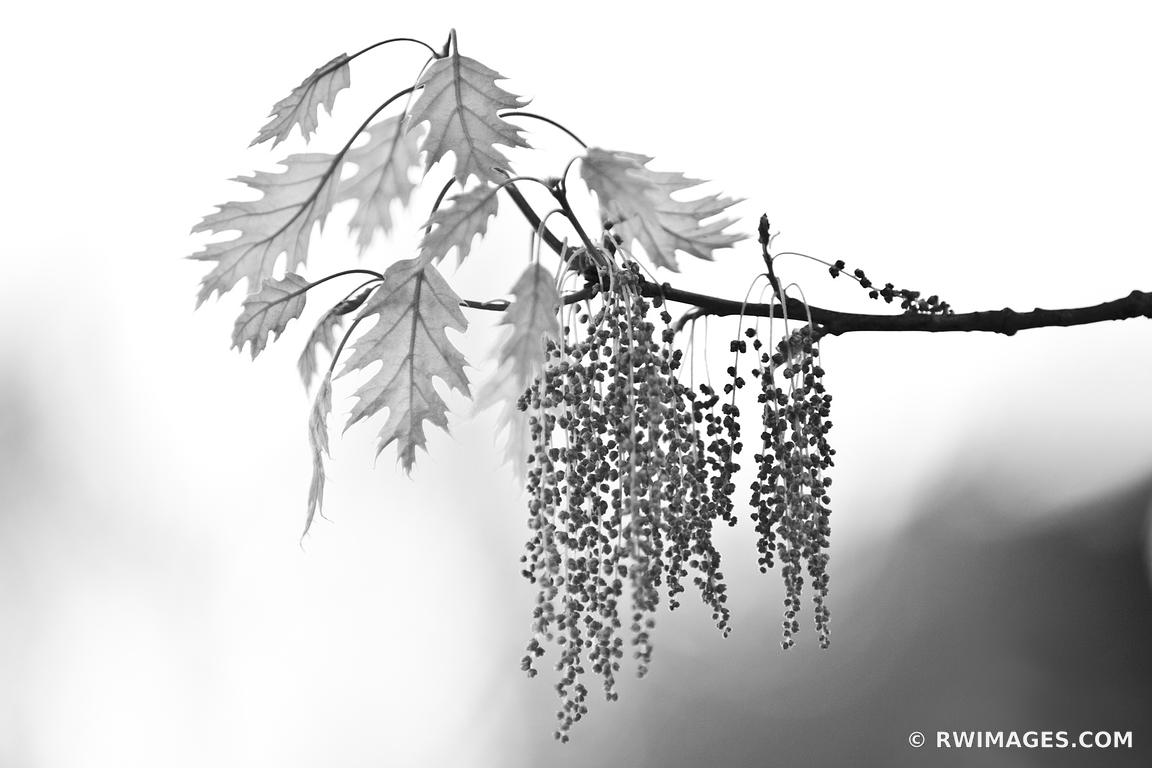 Photo Print of BOTANICALS TREE BRANCH LEAVES BLACK AND WHITE Print ...