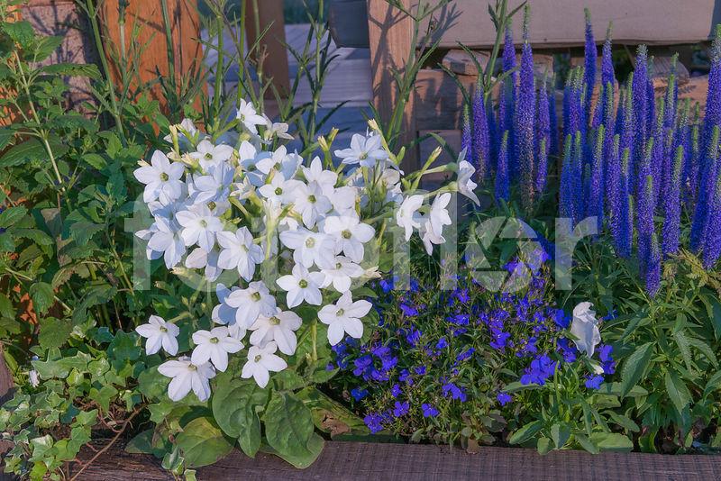 photo de nicotiana lobelia veronica bordure de fleurs d 39 t et plantes vivaces m lange. Black Bedroom Furniture Sets. Home Design Ideas
