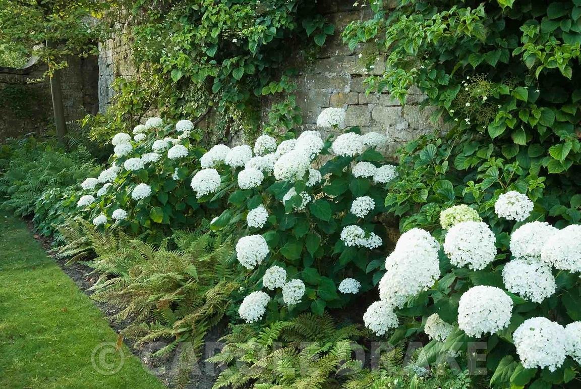 Carole Drake A Border Of White Mop Headed Hydrangeas Interiors Inside Ideas Interiors design about Everything [magnanprojects.com]