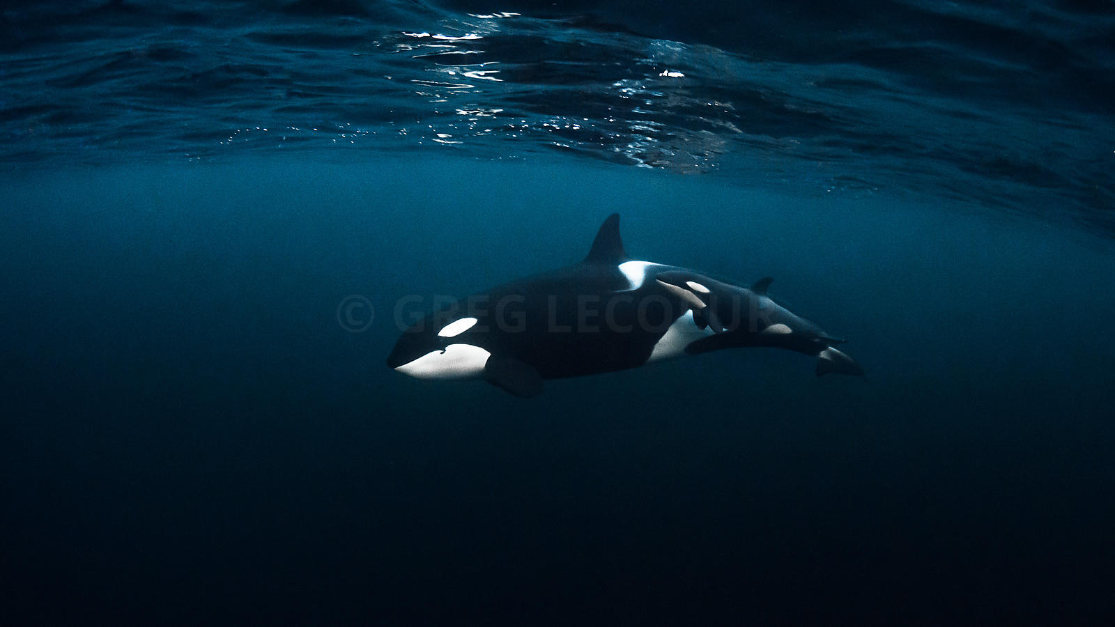 Greg Lecoeur Underwater and Wildlife Photography | Orcas ...