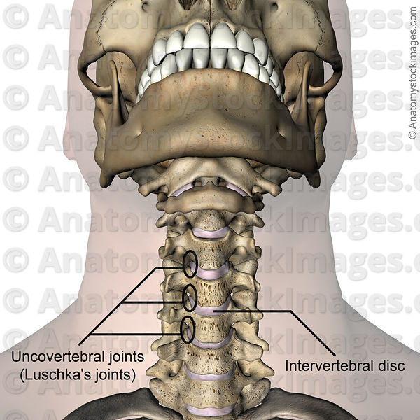 Anatomy Stock Images | neck-uncovertebral-joint-luschkas-joints ...