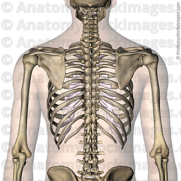 Anatomy Stock Images | torso-ribcage-ribs-costae-costal-floating-rib ...